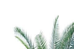 Tropical palm leave on white isolated background for green foliage backdrop. Tropical plant  leave white isolated background green foliage backdrop stem   lush royalty free stock images
