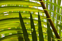 Tropical palm leaves Royalty Free Stock Images
