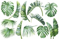Tropical palm leaves, banana palm, monstera, strelitzia on isolated white background, watercolor botanical illustration