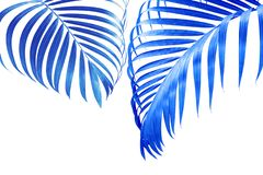 Tropical Palm Leaves in Blue Tone Color Isolated on White Background. Exotic Tropical Palm Leaves in Blue Tone Color Isolated on White Background stock photos