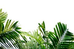 Tropical palm leaves with branches on white isolated background for green foliage backdrop. Tropical tree leaves branches white isolated background green foliage stock photo