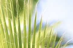 Tropical palm leaves. Close-up view of fresh green palm tree leaf Royalty Free Stock Photography