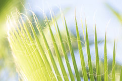 Tropical palm leaves. Close-up view of fresh green palm tree leaf Royalty Free Stock Image