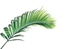 Free Tropical Palm Leaves Foliage Plant, Green Palm Frond Isolated On White Background With Clipping Path Stock Images - 174209604