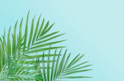 Tropical palm leaves on light blue background. Minimal nature. S. Ummer Styled.  Flat lay.  Image is approximately 5500 x 3600 pixels in size Royalty Free Stock Image