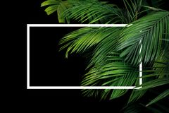 Tropical palm leaves rainforest plant bush nature backdrop with white frame lay out on black background.  royalty free stock photography