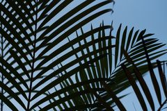 Tropical palm leaves texture with blue clear sky. Tropical palm leaves texture silhouette with blue clear sky day Royalty Free Stock Images