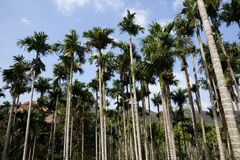 Tropical palm plantation Royalty Free Stock Photo