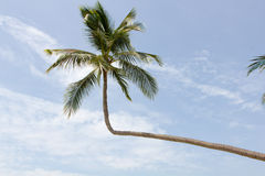 Tropical palm in Thailand Royalty Free Stock Image