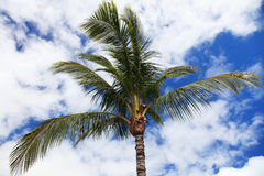 Tropical palm tree Stock Image