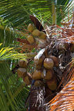 Tropical Palm Tree. Close up detail of a tropical coconut palm tree variety found in the Caribbean Royalty Free Stock Photography