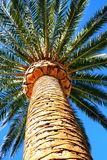 Tropical Palm Tree. Close up and a blue sky Stock Images