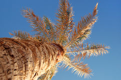 Tropical palm tree. Low angle view of tropical palm tree looking up to top with blue sky Stock Photos