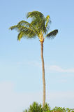 Tropical Palm Tree against a blue. One single tropical palm tree against a blue sky with background copyspace Royalty Free Stock Photography
