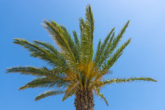 Tropical palm tree. Royalty Free Stock Images