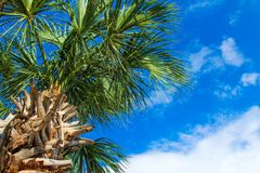 Tropical palm tree against blue sky stock photo