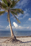 Tropical palm tree on beach. Tropical palm tree on the beach in Key West Florida Royalty Free Stock Photo