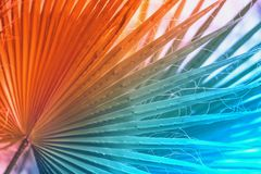 Tropical palm tree branch close-up in fashionable, trendy colors. Abstract natural texture, exotic bright colorful stock images