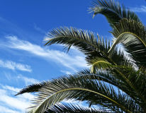 Tropical palm tree branches Royalty Free Stock Photography