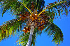 Tropical Palm Tree. Caribbean palm tree in Dominican Republic paradise beach Stock Photo