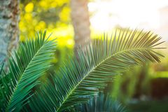Tropical palm tree close-up Royalty Free Stock Images