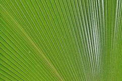 Tropical palm tree close up copy-space Royalty Free Stock Images