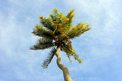 A tropical palm tree with a crooked trunk Royalty Free Stock Photography