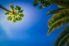 Tropical palm tree Royalty Free Stock Photography