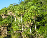 Tropical palm tree forest Royalty Free Stock Image