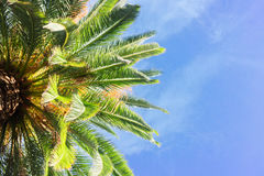 Tropical palm tree Royalty Free Stock Image