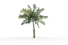 Tropical palm tree with green foilage Royalty Free Stock Image