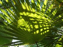 Tropical palm tree green leaf ina bright sunshine royalty free stock images