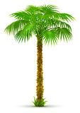 Tropical palm tree with green leaves isolated Stock Photos
