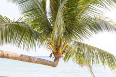 Tropical palm tree with green leaves over the sea water on the sand beach. Thailand. Close up Stock Images