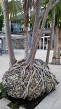 Tropical tree with interesting roots royalty free stock photos