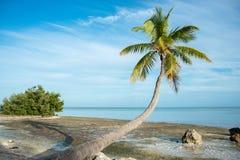 Tropical palm. Palm tree in islamorada Royalty Free Stock Photos