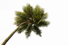 Tropical Palm Tree Isolated royalty free stock photography