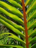Tropical palm tree leaf Royalty Free Stock Photography