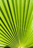 Tropical palm tree leaf Royalty Free Stock Photo