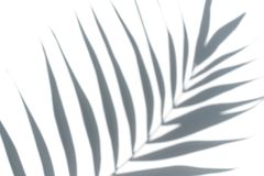 Tropical palm tree leaf on a white background. Minimal concept. Tropical palm tree leaf on a white background Stock Images