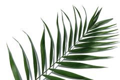 Tropical palm tree leaf on a white background. Minimal concept. Tropical palm tree leaf on a white background Stock Photography