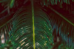 Tropical palm tree leaves. Macro green tropical concept. royalty free stock photo