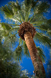 Tropical palm tree. Low angle view or tropical palm tree with blue sky background Stock Photos