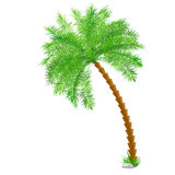 Tropical palm tree over white Royalty Free Stock Photos