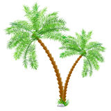 Tropical palm tree over white Stock Photography