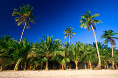 Tropical palm tree paradise. Emerald green palm trees towering in front of a deep blue sky beside a white sand beach. The perfect place for relaxing. Room for Royalty Free Stock Photo