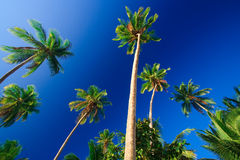 Tropical palm tree paradise. Emerald green palm trees towering in front of a deep blue sky beside a white sand beach. The perfect place for relaxing. Room for Stock Photo