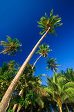 Tropical palm tree paradise. Emerald green palm trees towering in front of a deep blue sky beside a white sand beach. The perfect place for relaxing. Room for Stock Image