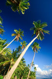 Tropical palm tree paradise. Emerald green palm trees towering in front of a deep blue sky beside a white sand beach. The perfect place for relaxing. Room for Royalty Free Stock Photography