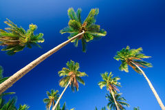 Tropical palm tree paradise. Emerald green palm trees towering in front of a deep blue sky beside a white sand beach. The perfect place for relaxing. Room for Stock Images